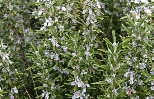 The History of the Magical Rosemary Plant